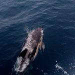Op de Atlantische Oceaan krijgen we weer bezoek van Dolfijnen